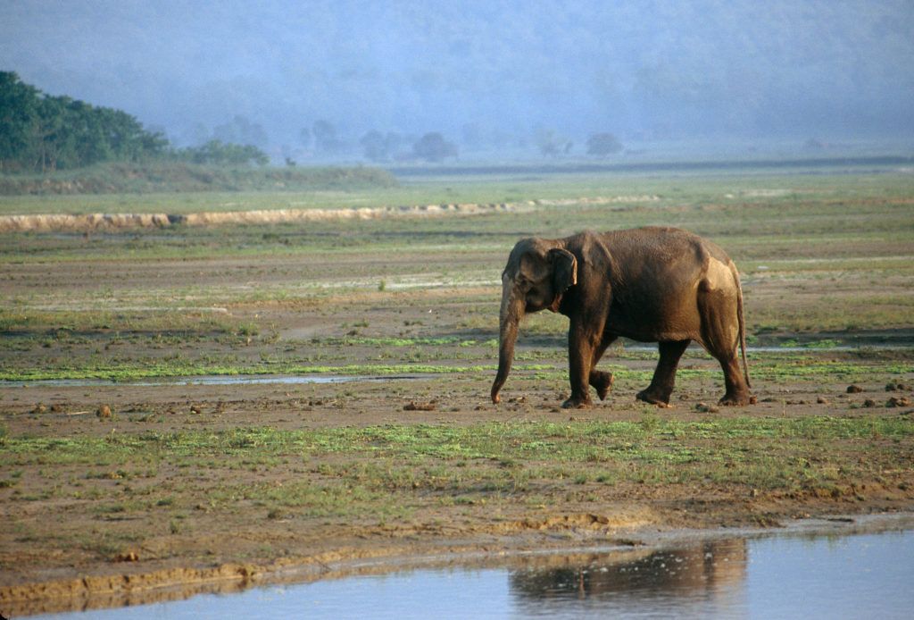 An elephant that just finished cooling off, with some dry spots along the back and head, walking on a sparse landscape. Its reflection can be seen in a body of water barely in the foreground and trees can be seen in the background.