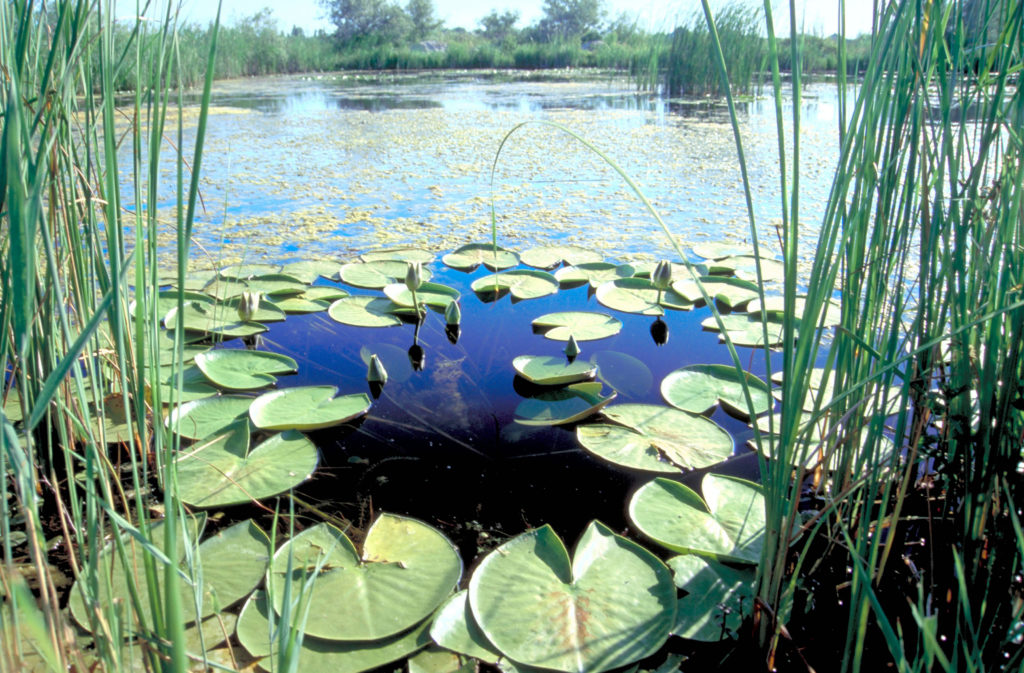 Tall grasses can be seen along the sides of the picture. Water lilies are arranged in a roughy circular shape, with the middle unobstructed. Algae and more grasses/reeds can be seen extending further into the marsh in the background.
