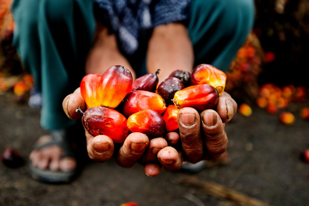 A farmer is crouched down (only the lower body can be seen), holding brightly colored palm oil fruit in their outstretched hands. Other fruit can be seen, out of focus, scattered on the ground in the background.